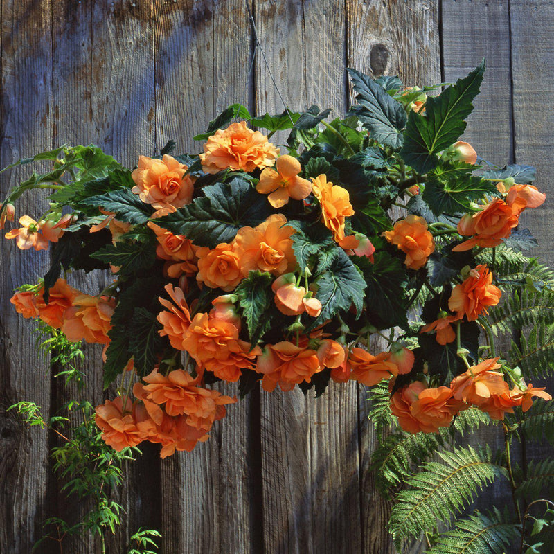 Large Full Hanging Basket Apricot Begonia