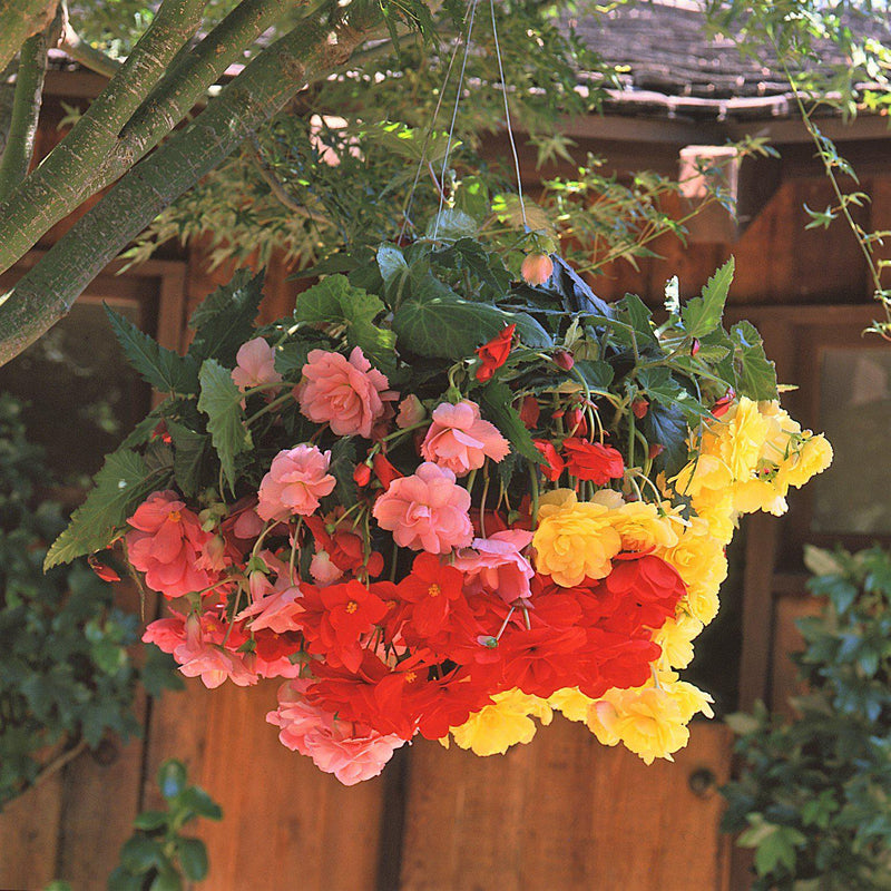 Begonia Colorful Hanging Basket Salsa Mix