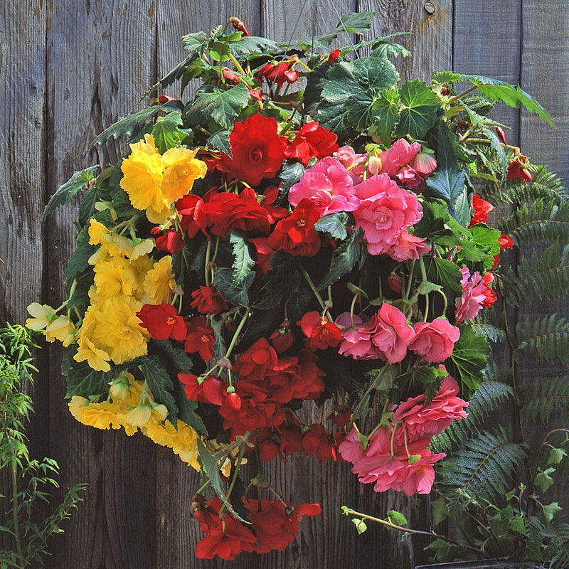 Begonia Bright Hanging Basket Salsa Mix