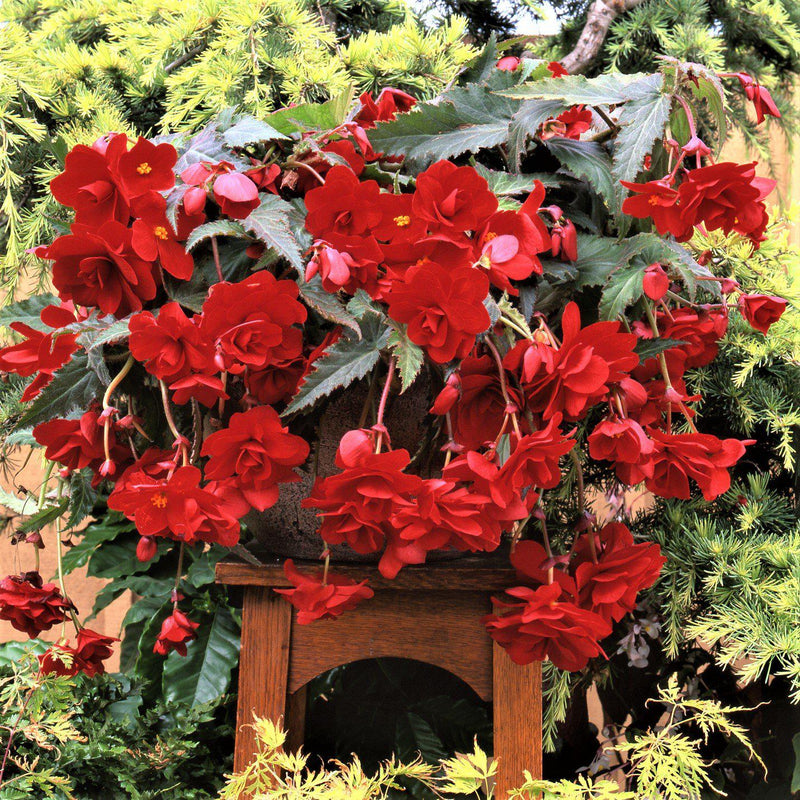Red Begonia Hanging Basket Popping Color Mix