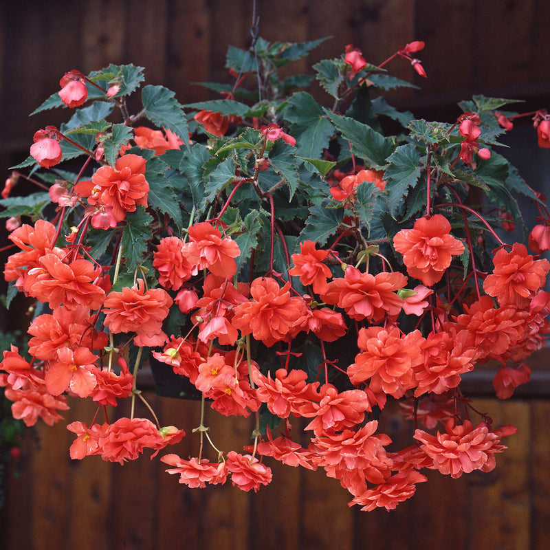 Hanging Basket Salmon Serenade Begonia Blooms