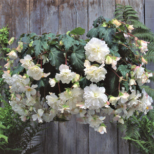 Hanging Basket White Chantilly Begonias