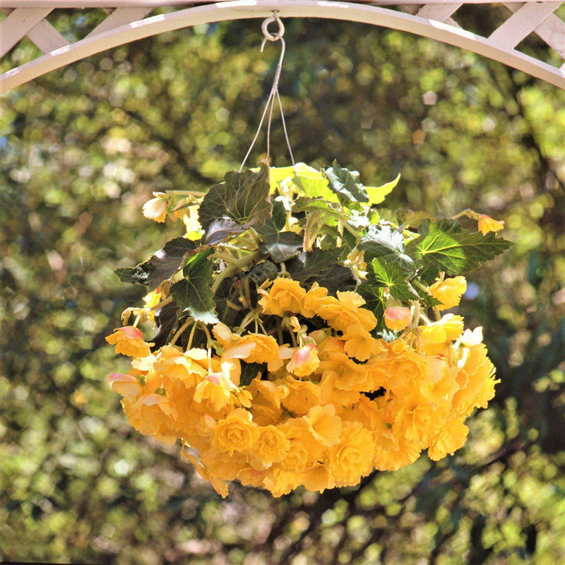Yellow Hanging Basket Popping Color Mix