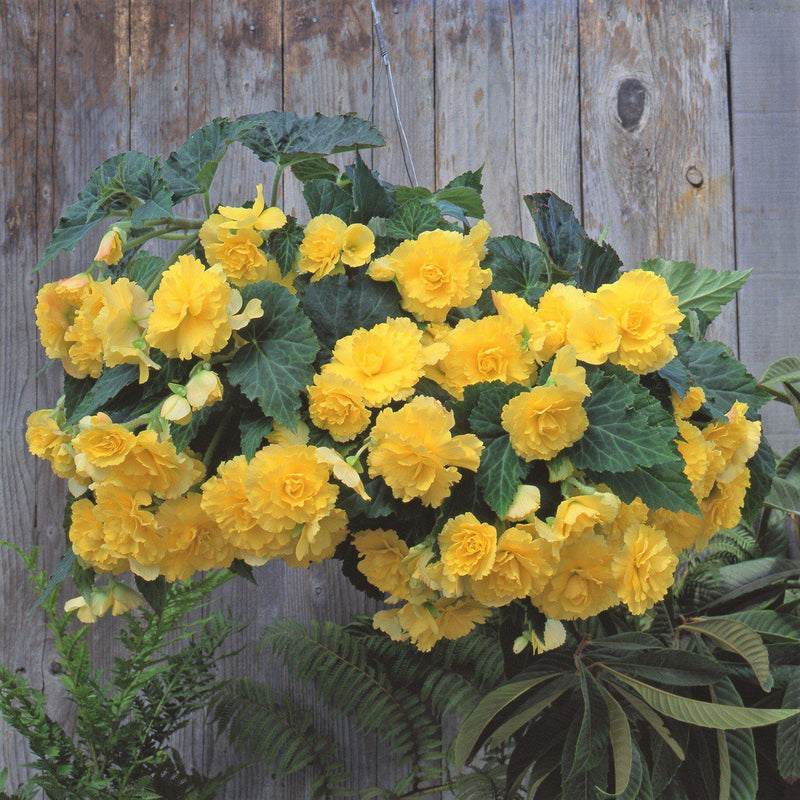 Yellow Begonia Hanging Basket Sunkissed Mix