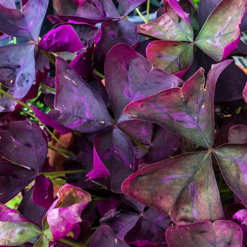 Blooming Group of Oxalis Triangularis