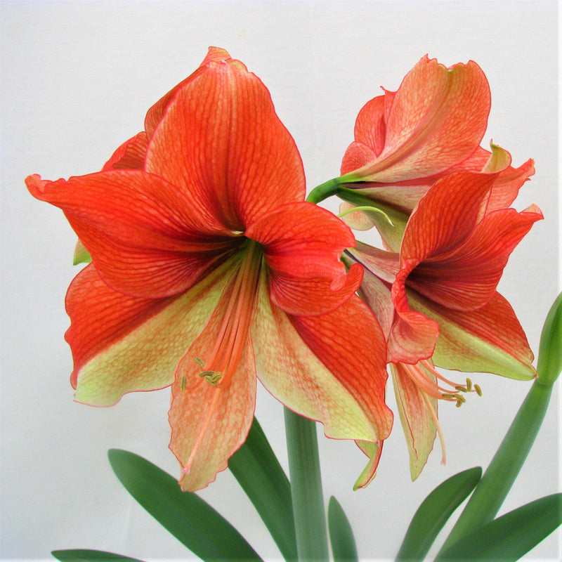 Amaryllis Half and Half