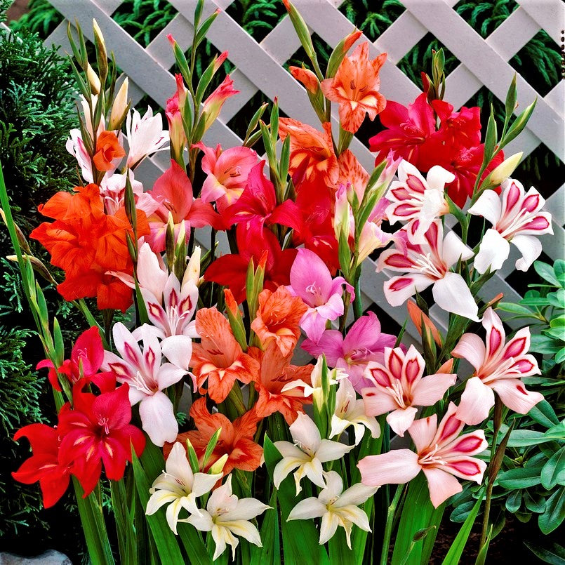 Gladiolus Nanus - Hardy Easy to Grow Mix