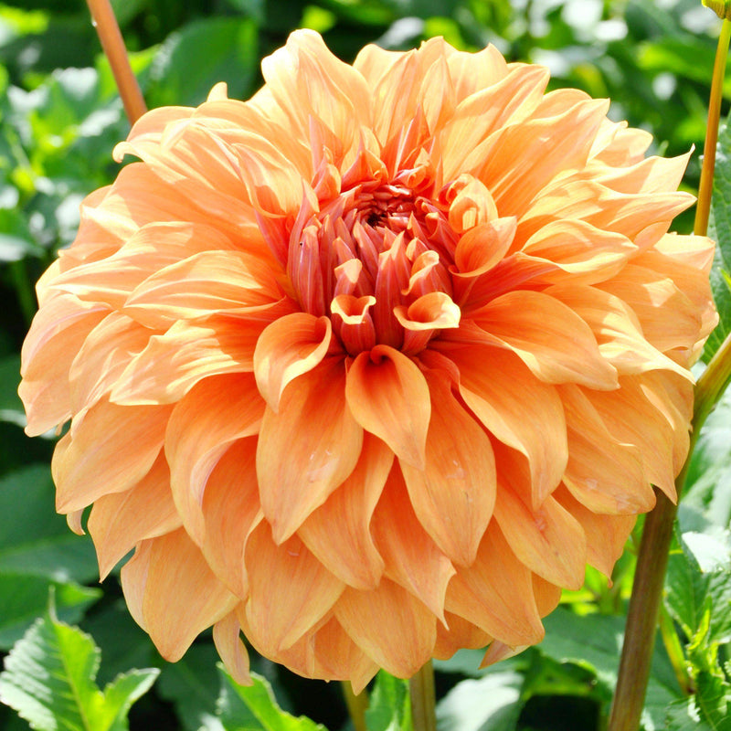 Orange Peach Dahlia Bulbs