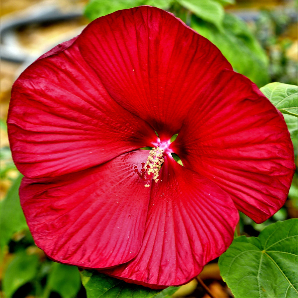 Flaming Red Rose Mallow Plants For Sale Hibiscus Fireball Easy