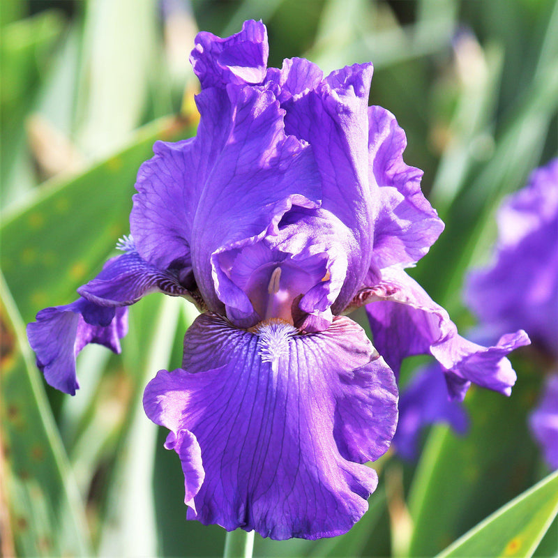 Purple Reblooming Bearded Iris His Royal Highness