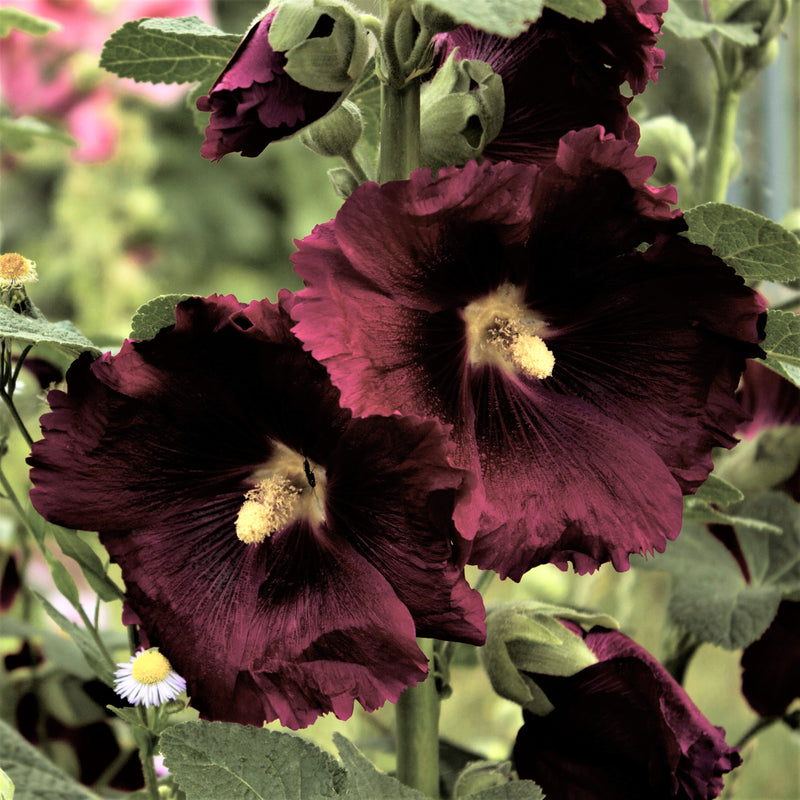 Hollyhock Spotlight Series Blacknight
