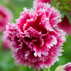 Fiesta Time Hollyhock