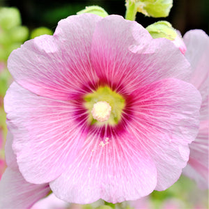 Hollyhock Spotlight Series Radiant Rose
