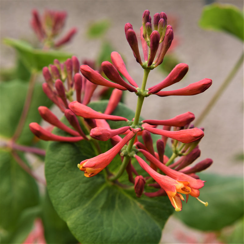 Honeysuckle Dropmore Scarlet