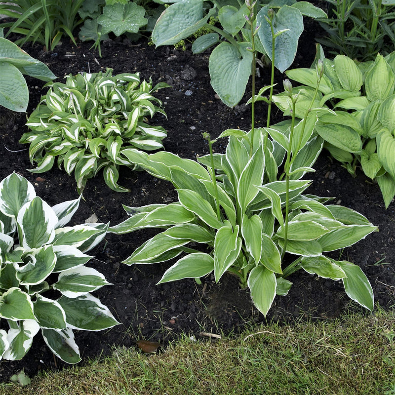 Hosta Bumper Crop Mix 10 bareroots