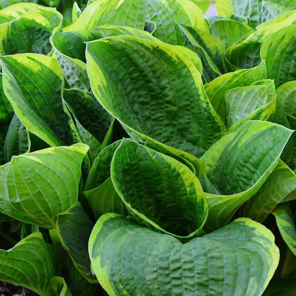 Hosta Christmas Tree