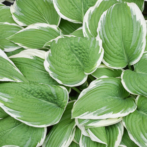Variegated hosta Francee