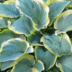 Variegated Hosta Frances Williams