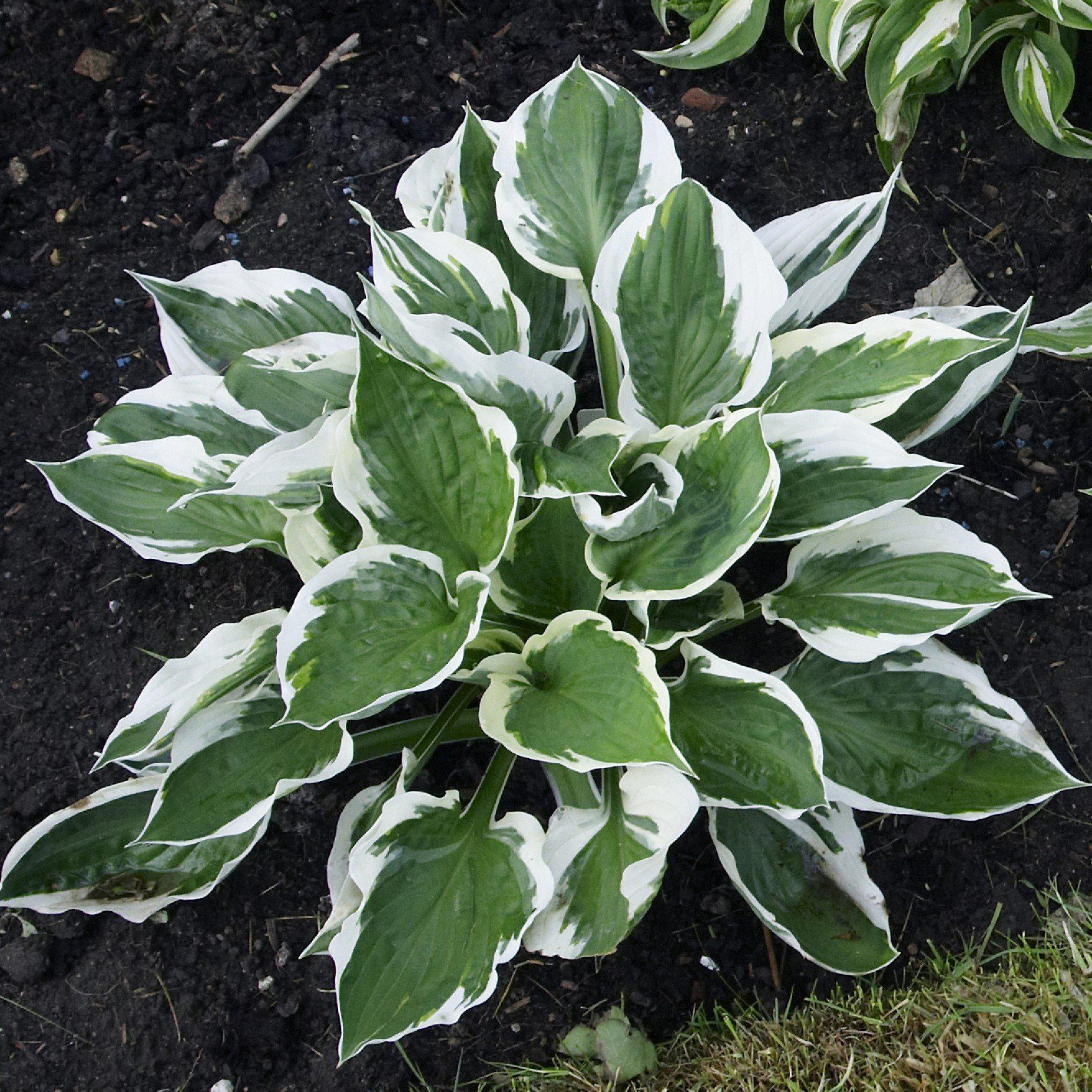 Hosta Patriot – Easy To Grow Bulbs - photo#27