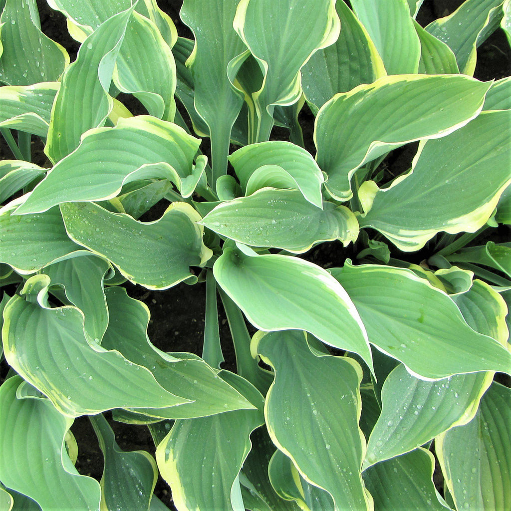 Hosta Regal Splendor Easy To Grow Bulbs