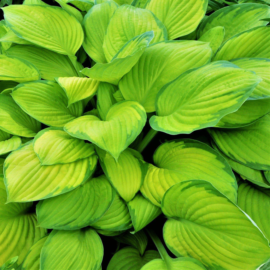 Hosta Stained Glass Bright Gold Hosta Sun Tolerant Hosta Easy