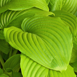 Chartreuse Hosta Sum and Substance