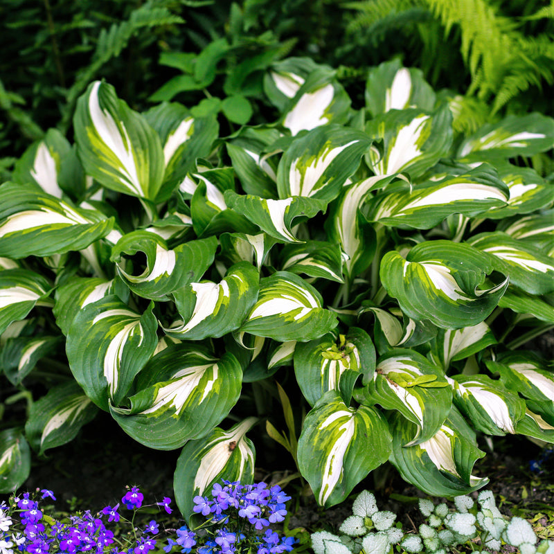 Variegated hosta for sale