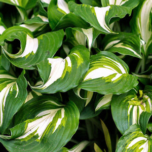 products/Hosta_Undulata_Medio_Varigata_2_.SHUT.jpg