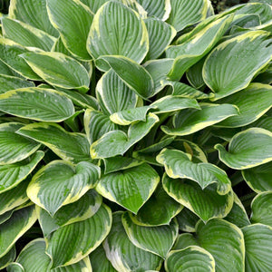 products/Hosta_Wide_Brim.SHUT_2.jpg