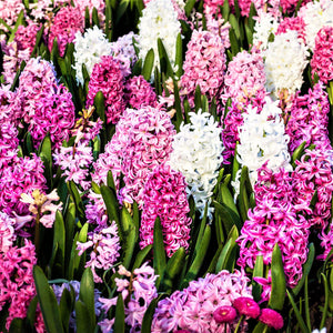 Pink and white hyacinth mix