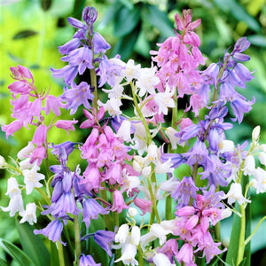 Spanish Bluebells (Hyacinthoides) Mix