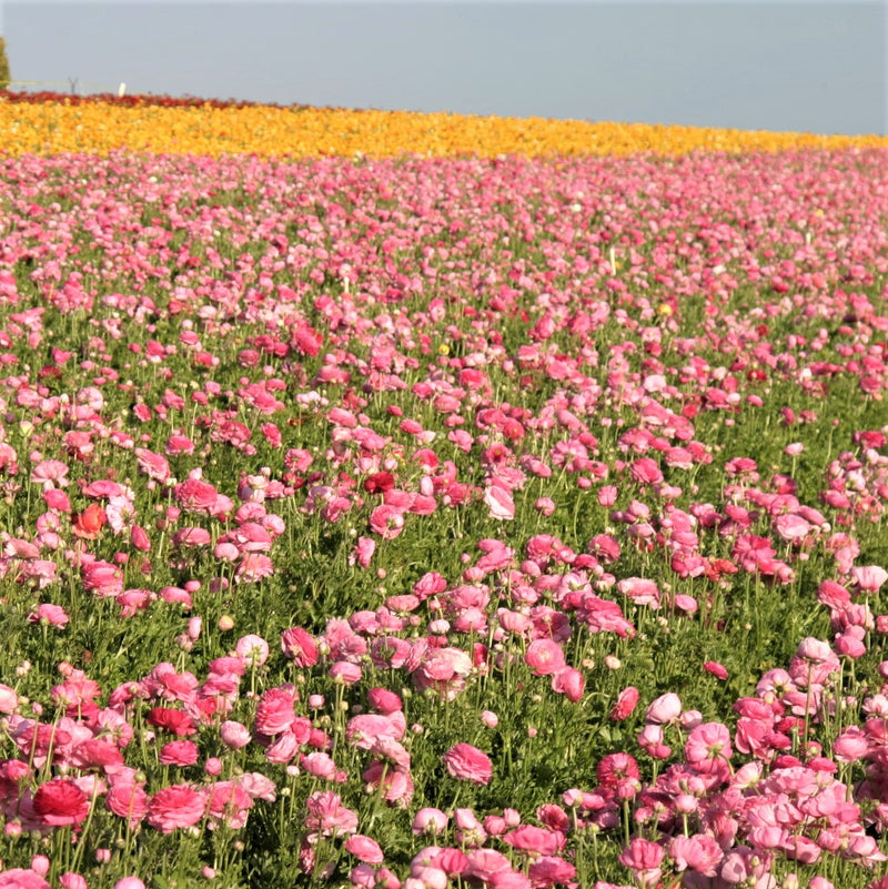 Field of Pink Ranunculus