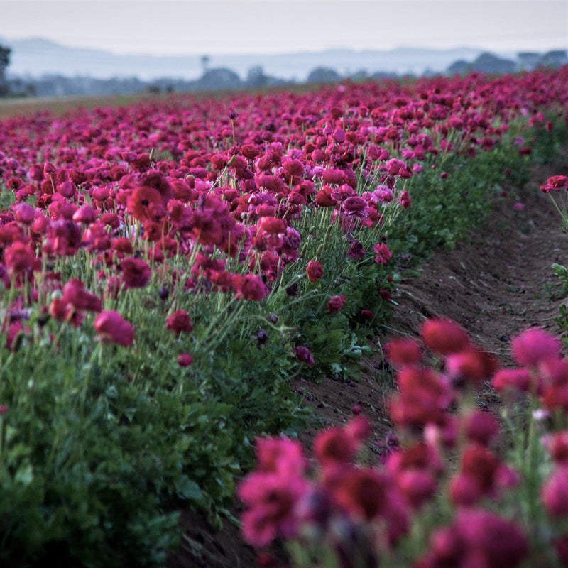 Field of Purple Ranunculus
