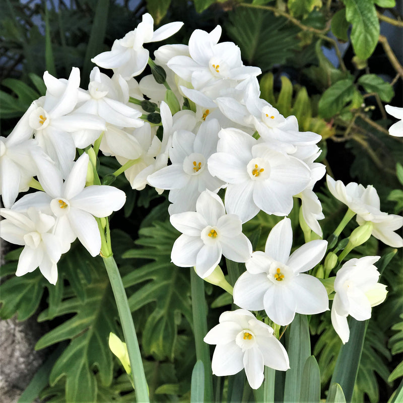 Paperwhites: 50 Bulbs in a Wild Horse Basket