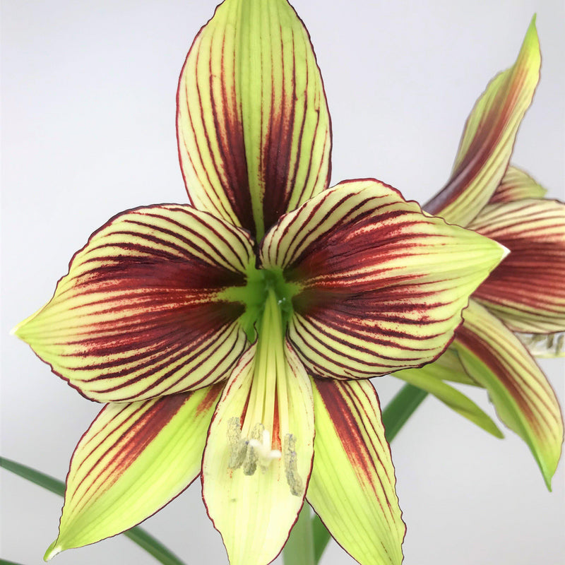 Amaryllis Papilio Green and Red Flowers