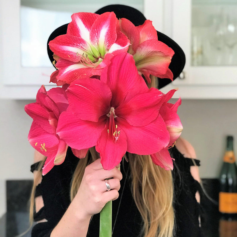 Bouquet of Amaryllis Pink Surprise