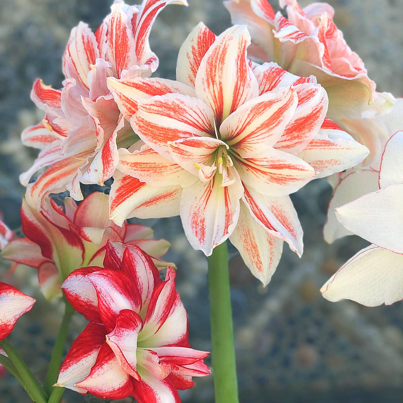 Huge Amaryllis Bulb Mix