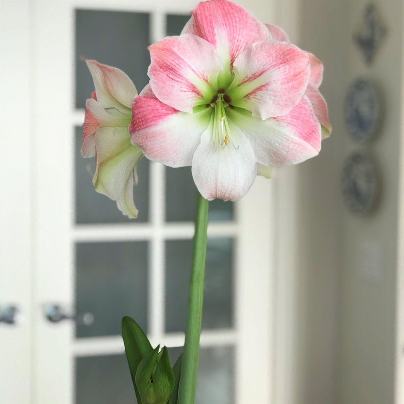 Container of Amaryllis Appleblossom