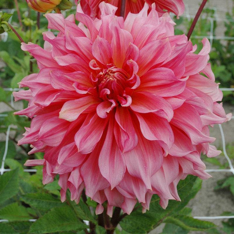 Dahlia Watermelon Mix