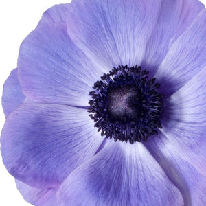 products/Italian_Anemone_Mistral_Blu.Onings.jpg