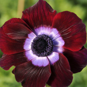 products/Italian_Anemone_Mistral_Bordeaux.BC.jpg
