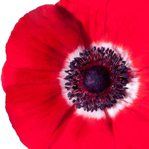 products/Italian_Anemone_Mistral_Rosso.Onings.jpg