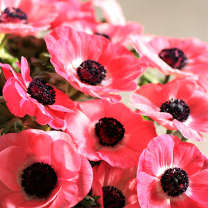 products/Italian_Anemone_Mistral_Shocking.ONINGS.jpg