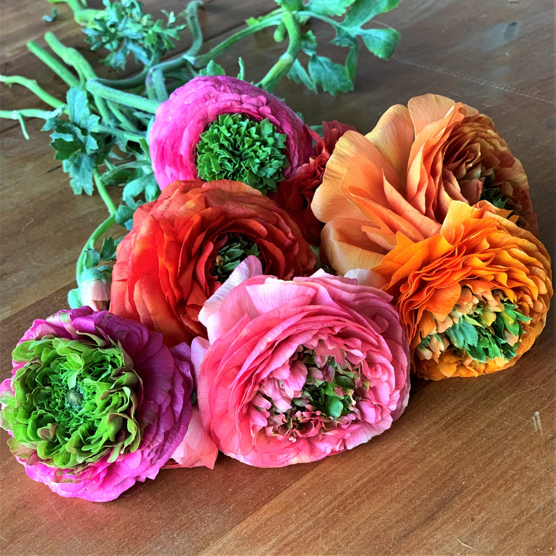 Italian Ranunculus Elegance Mix with green centers