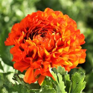 products/Italian_Ranunculus_Pon_Pon_Garfield.Onings.JPG