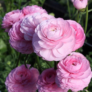 products/Italian_Ranunculus_Rose_Chiaro_2_.Onings.jpg