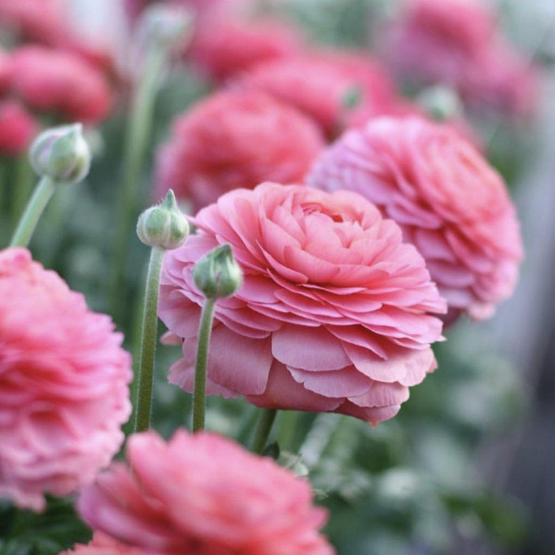 Italian Ranunculus Success Fragolino