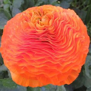 products/Italian_Ranunculus_Success_Macarena.ONINGS.jpg