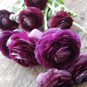 Italian Ranunculus Cloni Success Nerone