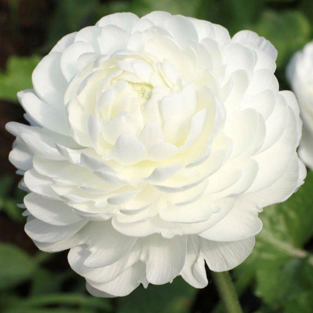 White Italian Ranunculus Success Rio